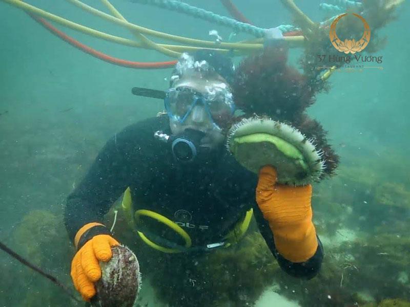 Bào Ngư Úc viền xanh được đánh bắt bằng tay, vì vậy số lượng rất hiếm và thu hoạch khó khăn