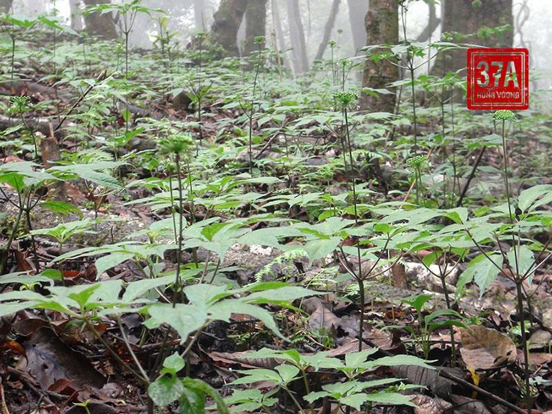 Sâm được tìm thấy tại khu vực Trung Trung Bộ Việt Nam, tập trung nhiều ở các huyện miền núi