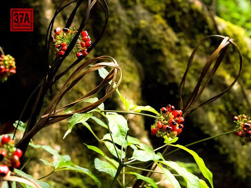 Sâm Ngọc Linh - Tinh hoa đến từ núi rừng Đại ngàn