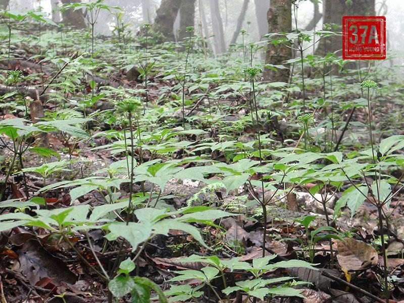 Cây sâm Ngọc Linh có dạng thân khí sinh thẳng đứng, màu lục hoặc hơi tím, nhỏ, có đường kính thân 4 - 8mm