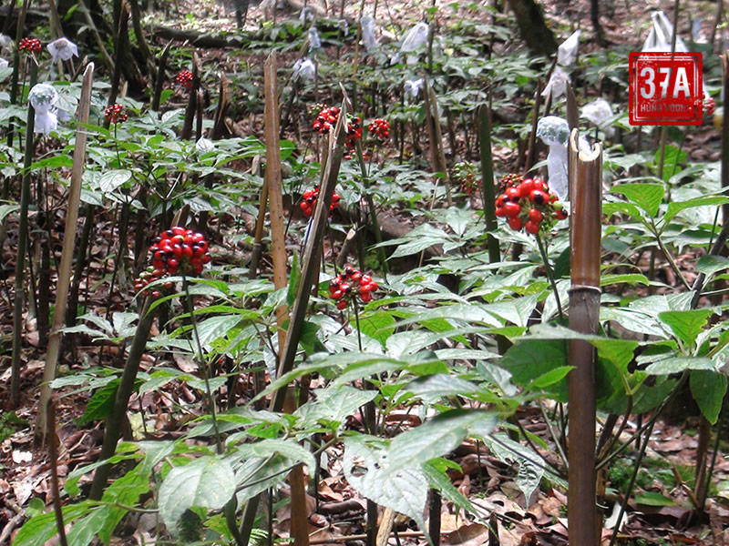 Thực trạng sâm Ngọc Linh tự nhiên tại Việt Nam
